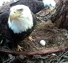 Mother Eagle Protecting Her Egg